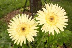 Den gula Gerberatusenskönan värma sig i solen efter regn fotografering för bildbyråer