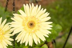 Den gula Gerberatusenskönan värma sig i solen efter regn royaltyfria foton