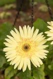 Den gula Gerberatusenskönan värma sig i solen efter regn royaltyfri bild