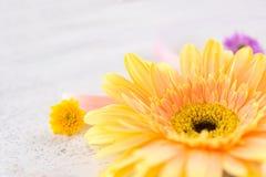 Den gula gerberavåren blommar vit träbakgrund arkivfoton