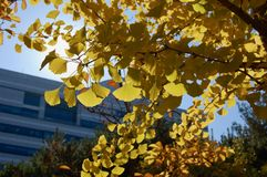 Den gula Ginko bilobaen lämnar i autuum med solljus arkivfoton