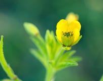 Den gula gräsblomman Royaltyfri Foto