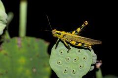 Den gula gräshoppan sitter på en grön blomma arkivbild