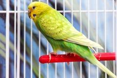 Den gula gröna krabba papegojan sitter i en vit bur royaltyfria foton