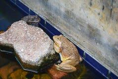Den gula grodan och svartgrodan håller fast vid en tegelsten på vatten Arkivbild