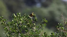 Den gula hammarefågeln, Emberizacitrinella, sätta sig på ett litet träd bredvid en flod på en blåsig solig dag i juli, Skottland stock video