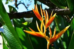 Den gula Heliconiaen i trädgården fotografering för bildbyråer