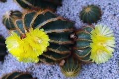 Den gula kaktusblomman som blommar i trädgården royaltyfria foton