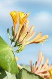 Den gula kaprifolen blommar på bakgrund för blå himmel Royaltyfri Fotografi