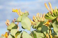Den gula kaprifolen blommar på bakgrund för blå himmel Arkivfoton