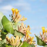 Den gula kaprifolen blommar på bakgrund för blå himmel Fotografering för Bildbyråer