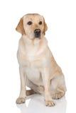 Den gula labrador retrieveren förföljer Arkivfoton