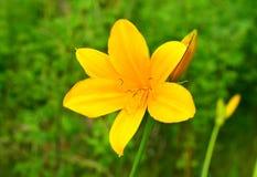 Den gula Lily Daylilies arkivfoto