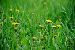 Den gula maskrosen blommar på grönt fält Royaltyfri Bild