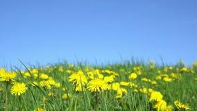 Den gula maskrosen blommar under blå himmel arkivfilmer