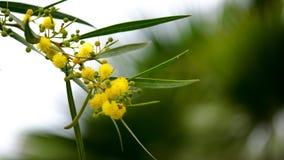 Den gula mimosablomman klumpa ihop sig att svänga i vinden Royaltyfri Foto