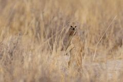 Den gula mungor ser, etoshanationalpark, Namibia Arkivbilder