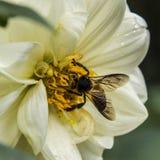 Den gula nektaret royaltyfria foton