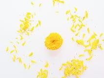 Den gula och orange ringblommablomman med kronblad sänker lagt isolerat på vit bakgrund Arkivbilder