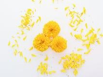 Den gula och orange ringblommablomman med kronblad sänker lagt isolerat på vit bakgrund Arkivfoton