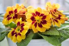 Den gula och röda primulahortensisen, primoses, den tidiga våren blommar i blom royaltyfri fotografi