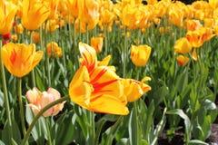 Den gula och röda tulpan blommar i en trädgård royaltyfria bilder