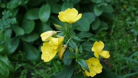 Den gula oenotheraen blommar i trädgården stock video