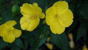 Den gula oenotheraen blommar i trädgården arkivfilmer