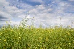 Den gula oilseeden våldtar på sommaren med den blåa skyen Arkivfoto