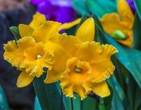 Den gula orkidén blommar i botaniska trädgården Royaltyfria Foton
