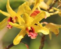 Den gula orkidén blommar närbild Arkivbild