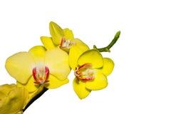 Den gula orkidén blommar på isolerad vit bakgrund Arkivfoton