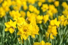 Den gula påskliljavåren blommar ängen Royaltyfri Fotografi