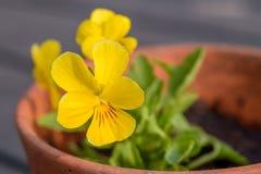 Den gula penséen blommar altfiolen i en kruka Arkivbilder