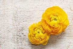 Den gula persiska smörblomman blommar (ranunculusen) på träbackgrou Royaltyfria Bilder