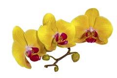Den gula Phalaenopsisorkidén blommar stammen och slår ut royaltyfri foto