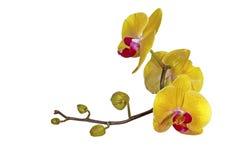Den gula Phalaenopsisorkidén blommar stammen och slår ut arkivbilder