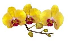 Den gula Phalaenopsisorkidén blommar stammen och slår ut royaltyfri fotografi