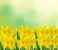 Den gula pingstliljan blommar, stänger sig upp, gräsplan för att gulna degradeebakgrund Vet som påsklilja, daffadowndilly, pingst Arkivbild