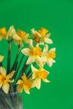 Den gula pingstliljan eller påskliljan blommar på grön bakgrund Selektivt fokusera placera text Arkivfoto