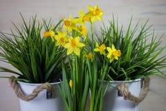 Den gula pingstliljan eller påskliljan blommar på ljus bakgrund arkivfoto