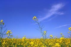 Den gula rapsfröt blommar på fält royaltyfri fotografi