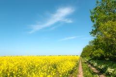 Den gula rapsfröt blommar på fält arkivbilder