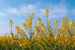 Den gula rapsfröt blommar på fält royaltyfri foto