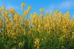 Den gula rapsfröt blommar på fält royaltyfria foton