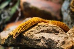 Den gula reptilen som vilar på, vaggar royaltyfri fotografi