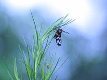 Den gula ringed gräsmalAmata sperbiusen Fabricius eller Tiger Grass borrSyntomoides imaon sätta sig på maxima av corianden arkivfoton