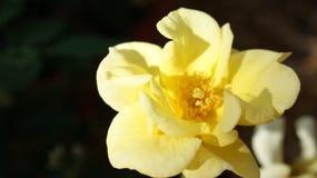Den gula rosen fångar morgonsolljuset arkivfoton