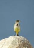 Den gula sädesärlan på kalkstenen vaggar Fotografering för Bildbyråer