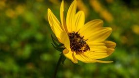 Den gula solrosen får ett besök från ett bi Arkivfoton